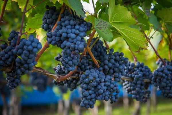 vendanges vin